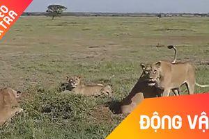 Lợn rừng 'đào tẩu' ngoạn mục trước bầy sư tử cái