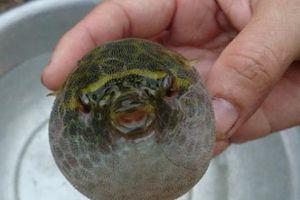 Cà Mau: Nhậu với cá nóc, 5 ngư dân nhập viện cấp cứu