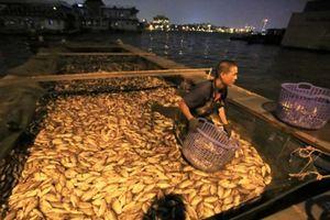 Hàng tấn xác cá lại nổi trắng Hồ Tây