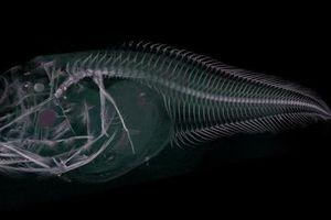 Phát hiện 3 loài 'cá ma' bị 'tan chảy' khi đưa lên mặt biển