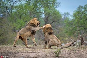 Khi tình đồng loại sụp đổ, động vật hoang dã trở mặt với nhau