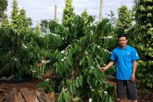Ghép cải tạo vườn cà phê già cỗi: Hiệu quả gấp đôi