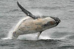 Brazil kiến nghị bảo vệ số lượng cá voi trên thế giới