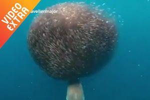 Cá mập bị đàn cá khổng lồ 'nuốt chủng'
