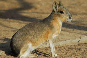 Kỳ lạ sinh vật vừa giống thỏ vừa giống chó, chạy cực nhanh