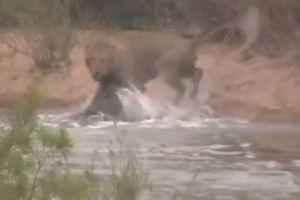 Clip: S t b cá su phc kích khi qua sông