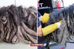 Chú chó tội nghiệp bị 'nhốt cứng' trong bộ lông cáu bẩn gần 2 kg do chủ nghiện rượu bỏ bê