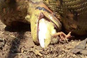 Thả trăn anaconda khổng lồ vào chuồng gà và cái kết rùng mình