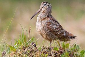 Loài chim đặc biệt, có mỏ có thể bẻ cong được