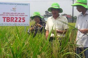 Lúa Thái Bình trên đồng ruộng xứ Thanh