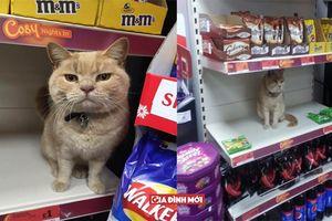 Mèo ú 'cố thủ' trong siêu thị dù bị đuổi nhiều lần, sự lì lợm khiến nó nổi như cồn