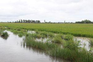 Hàng chục ngàn héc ta lúa thiệt hại vì lũ dâng cao