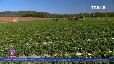 Australia điều tra vụ kim khâu trong dâu tây