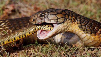 Rắn hổ mang chúa xơi tái rắn săn chuột trong nháy mắt